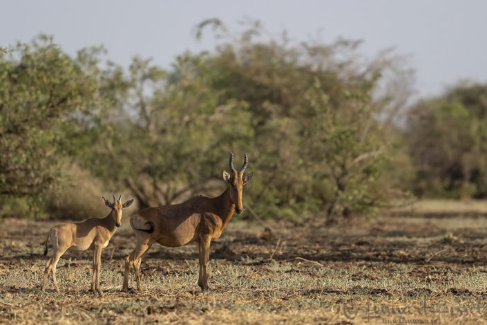 Lelwel Hartebeest Zakouma National Park Chad Salamat