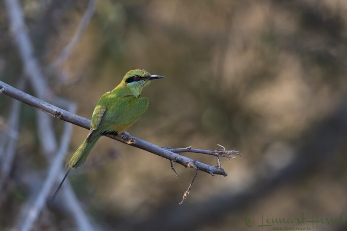 Little Green Bee-eater Zakouma National Park Chad Salamat