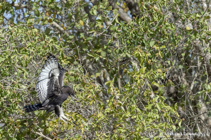 African Crowned Eagle Zakouma National Park Chad Salamat