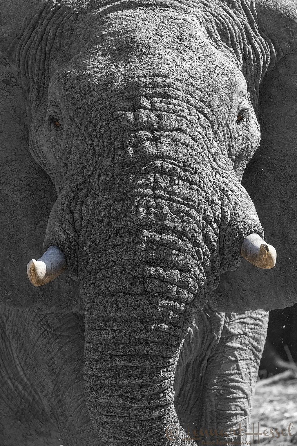 African Elephants of Zakouma National Park Chad Salamat