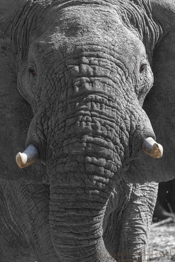 African Elephant b&w Zakouma National Park Chad Salamat