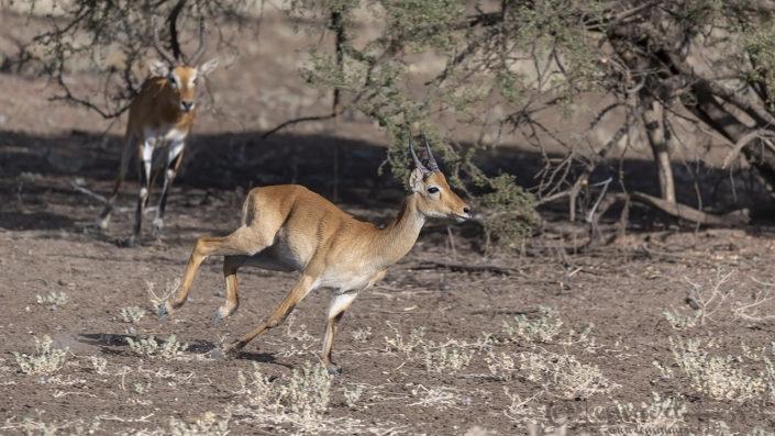 Buffon's Kob chase Zakouma National Park Chad Salamat
