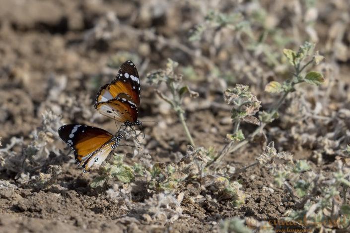Butterflies Zakouma National Park Chad Salamat