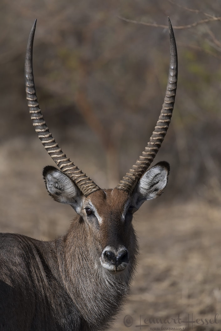 Defassa Waterbuck Zakouma National Park Chad Salamat