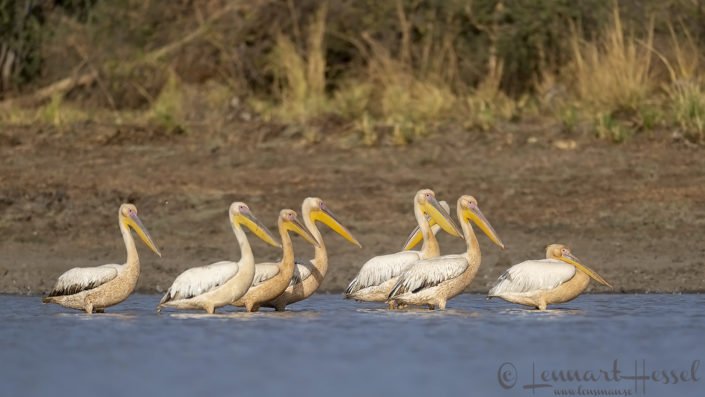 Great White Pelicans Zakouma National Park Chad Salamat