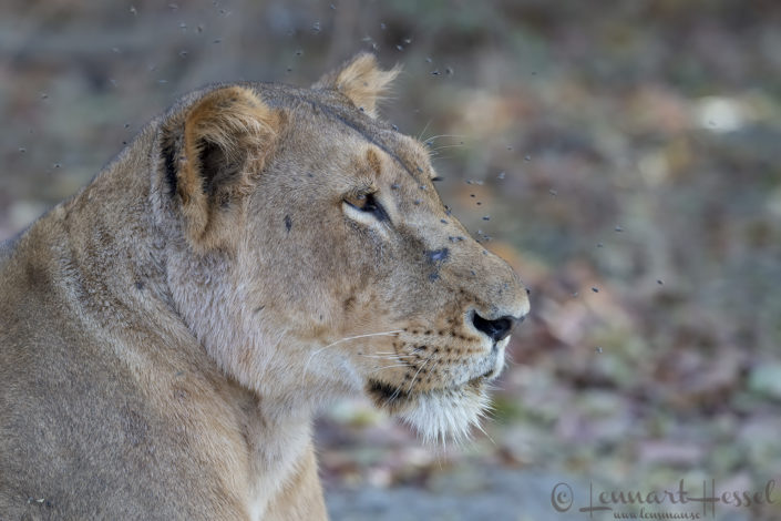 Lioness and flies Zakouma National Park Chad Salamat