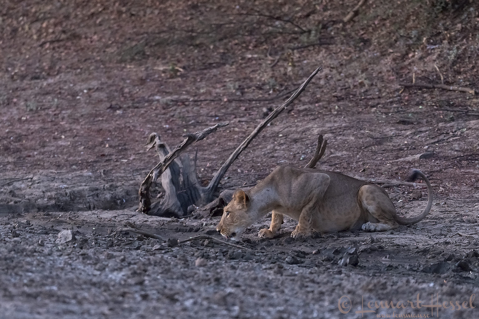 Lioness drinking Zakouma National Park Chad Salamat River