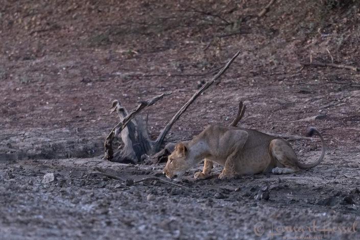 Lioness drinking Zakouma National Park Chad Salamat
