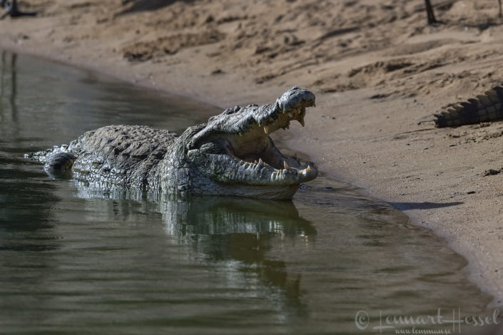 Nile crocodile Zakouma National Park Chad Salamat