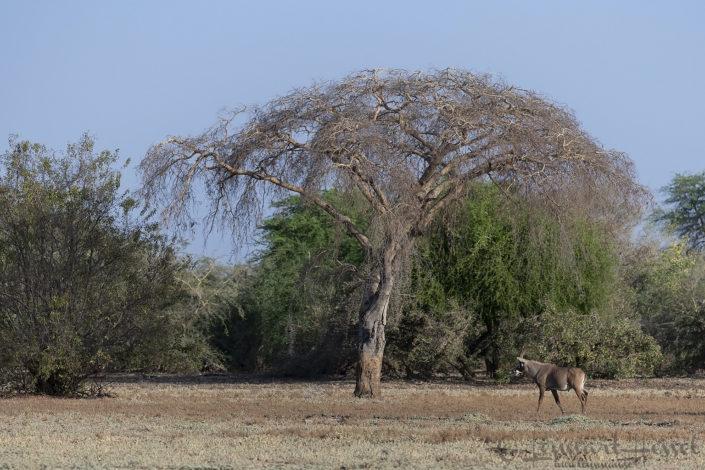 Roan Zakouma National Park Chad Salamat