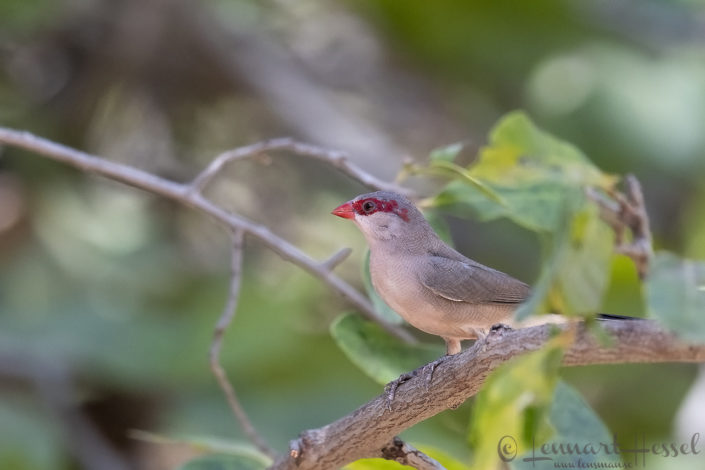 Black-rumped Waxbill Zakouma National Park Chad Salamat
