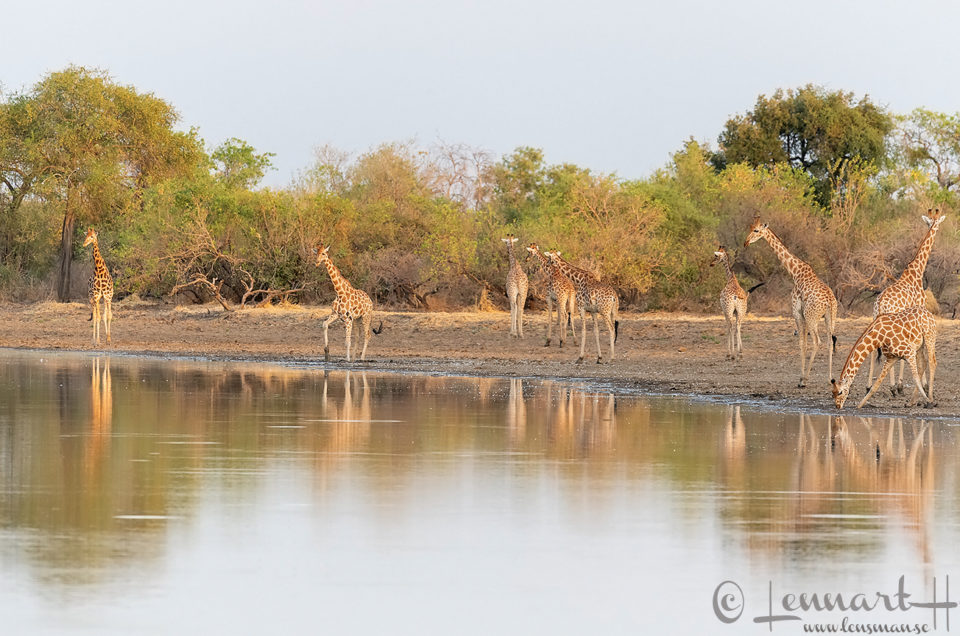 Kordofan Giraffes reflections Zakouma National Park Chad Salamat