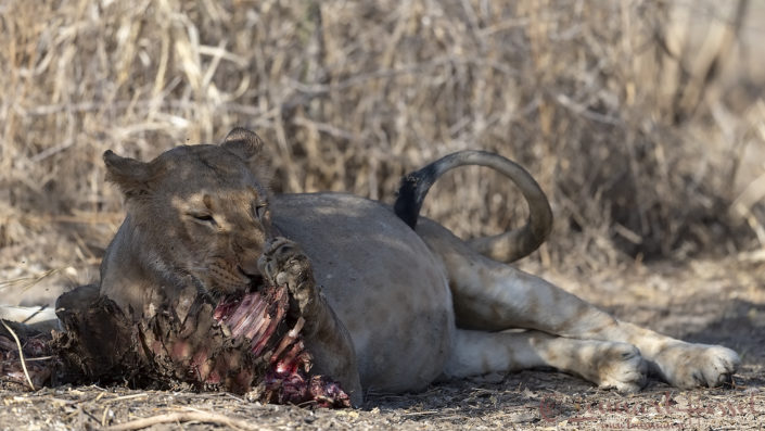 Lion paw Zakouma National Park Chad Salamat