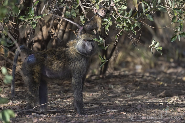 Olive Baboon with baby Zakouma National Park Chad Salamat