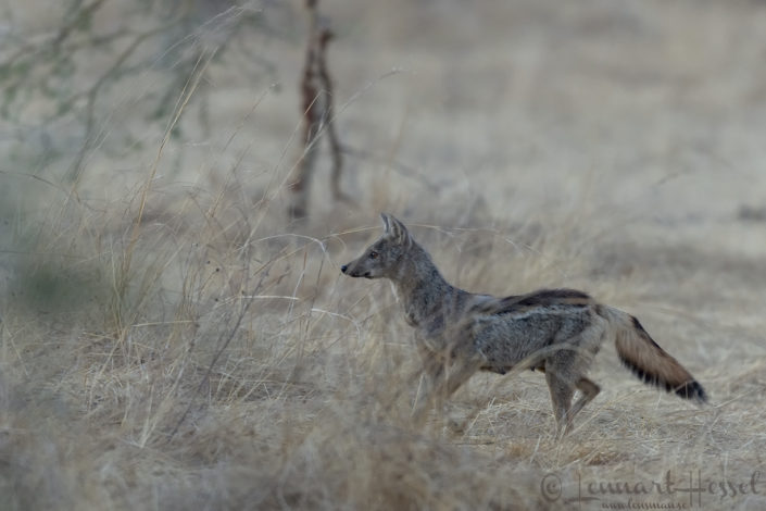 Side-striped Jackal Zakouma National Park Chad Salamat