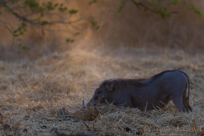 Warthog Zakouma National Park Chad Salamat