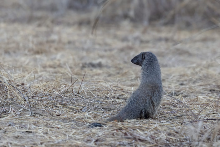 White-tailed Mongoose Zakouma National Park Chad Salamat
