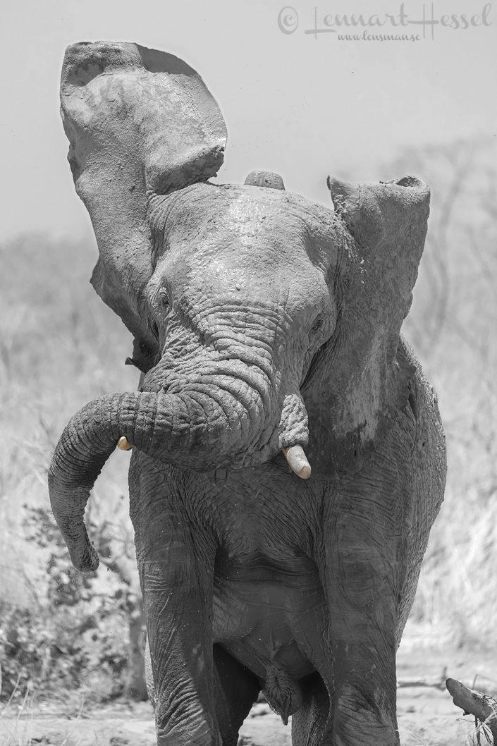 African Elephant shaking head elephants of zakouma national park