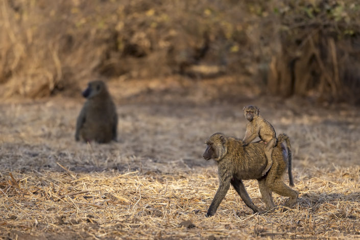 Olive Baboon youngster riding on back Zakouma National Park Chad Salamat