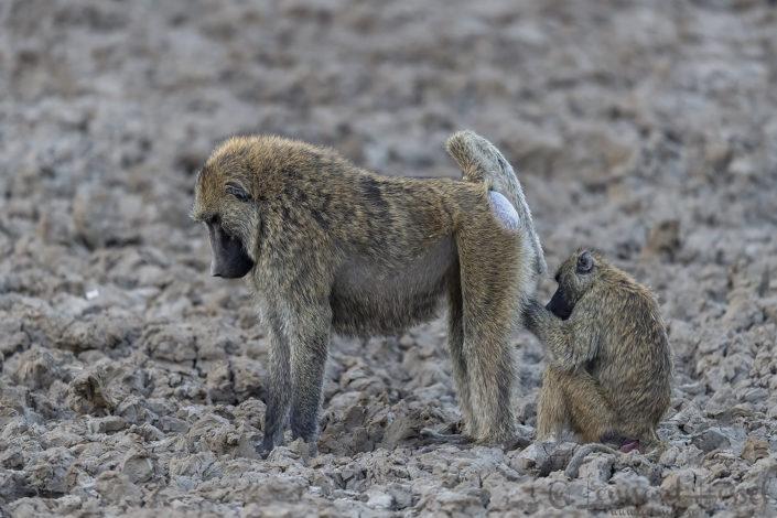 Olive Baboon grooming Zakouma National Park Chad Salamat