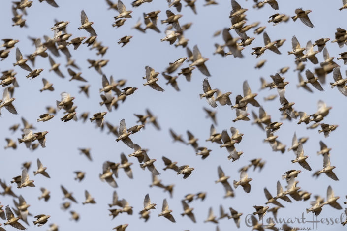 Red-billed Quelas in flight Zakouma National Park Chad Salamat