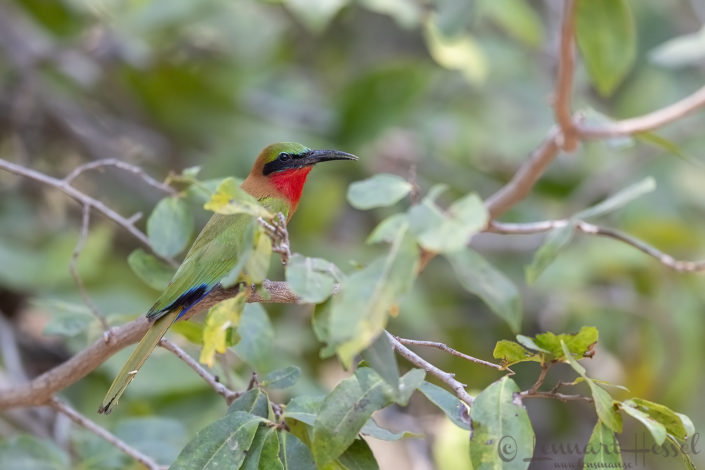 Red-throated Bee-eater Zakouma National Park Chad Salamat