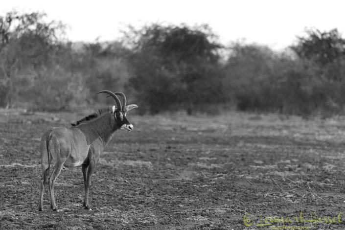 Roan b&w Zakouma National Park Chad Salamat