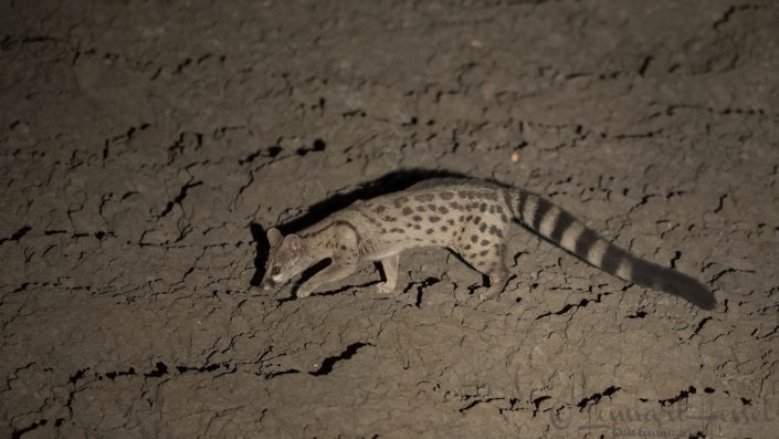 Rusty-spotted Genet at night Zakouma National Park Chad Salamat