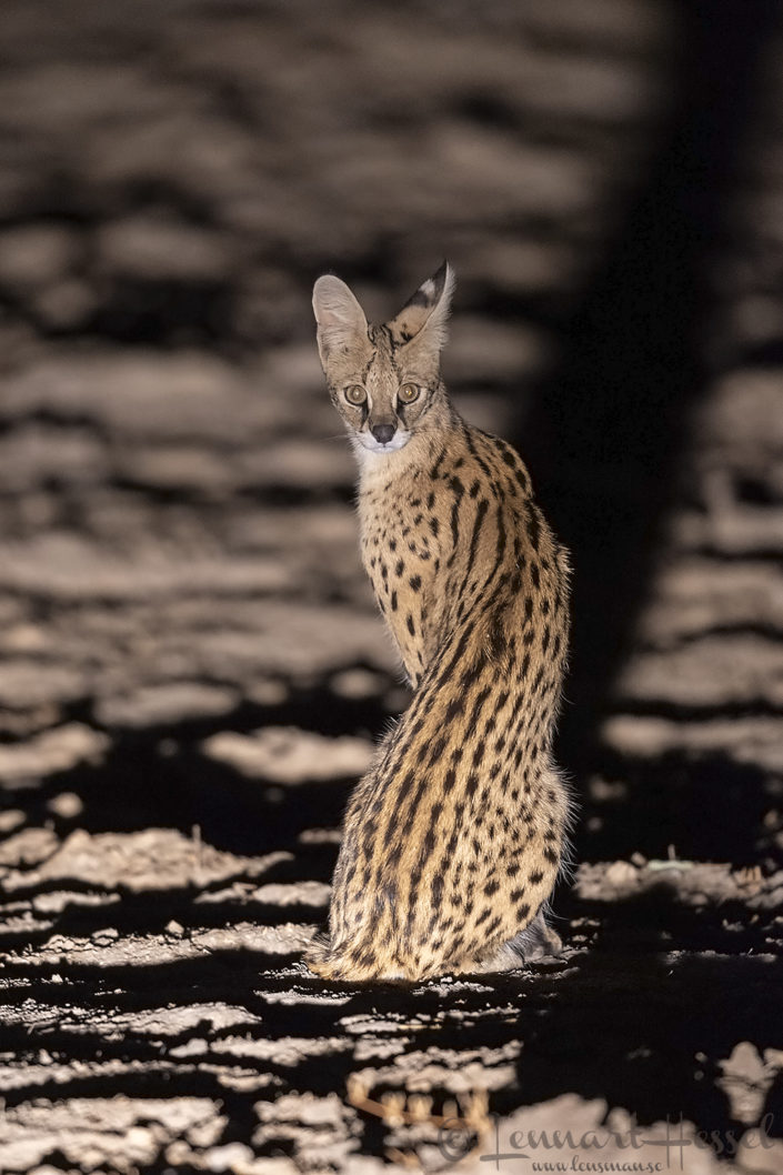Serval at night Zakouma National Park Chad Salamat