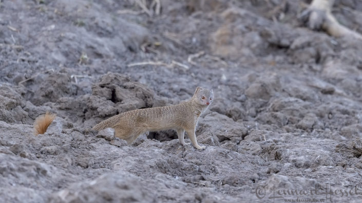 Slender Mongoose Zakouma National Park Chad Salamat