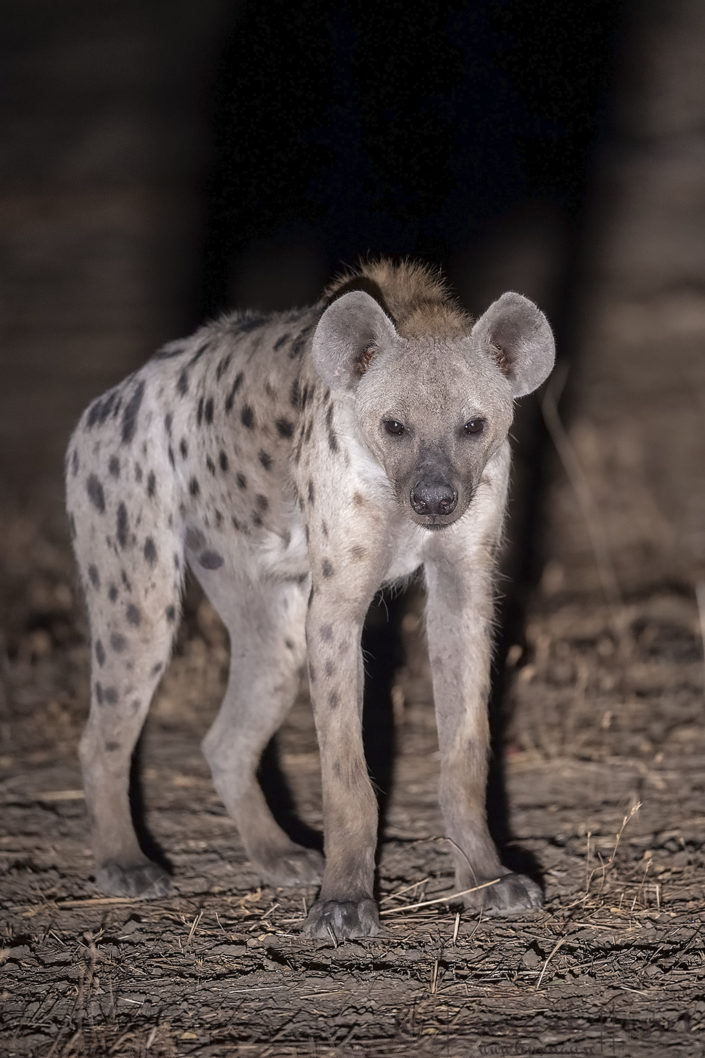 Spotted Hyena at night Zakouma National Park Chad Salamat