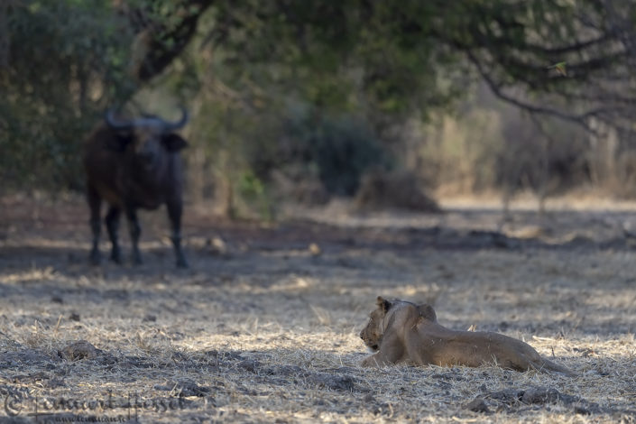 Stand-off Lion vs Central African Savannah Buffalo Zakouma National Park Chad Salamat