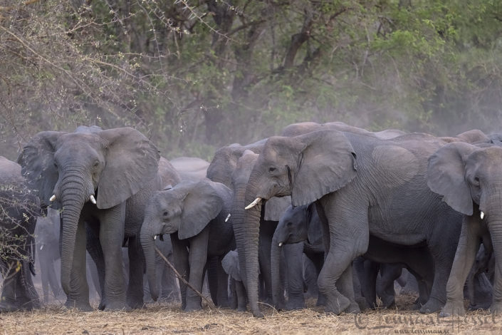 African Elephant herd elephants of zakouma national park
