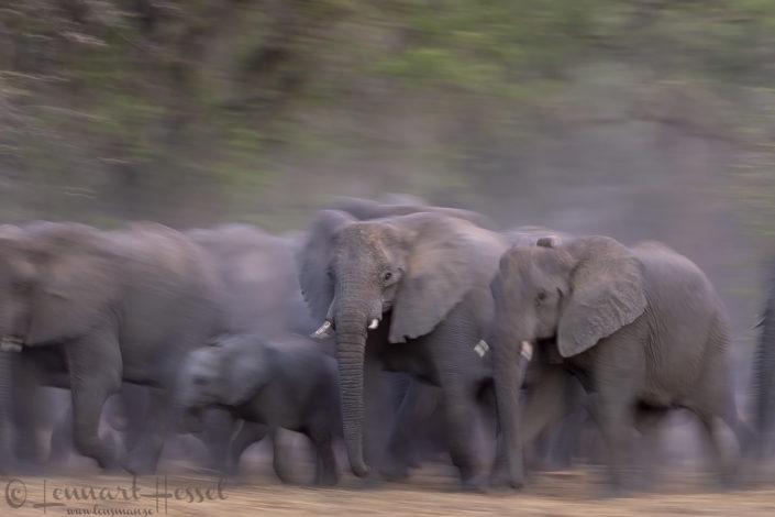 African Elephant herd moving elephants of zakouma national park