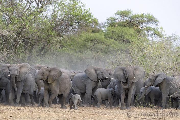 African Elephant herd tpgether elephants of zakouma national park