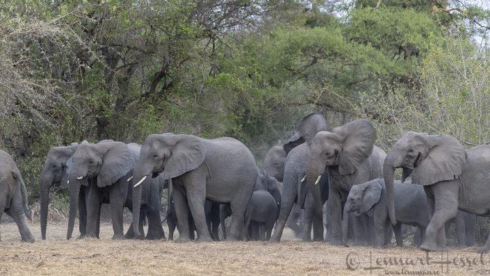 African Elephant head shake Zakouma National Park Chad Salamat