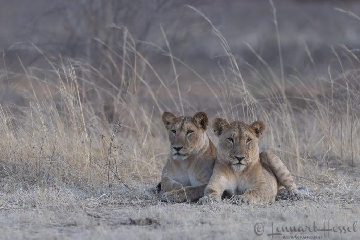 Lions Zakouma National Park Chad Salamat