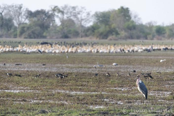 Marabou Stork Zakouma National Park Chad Salamat