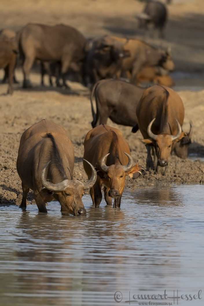 Central African Savannah Buffaloes drinking Zakouma National Park Chad Salamat