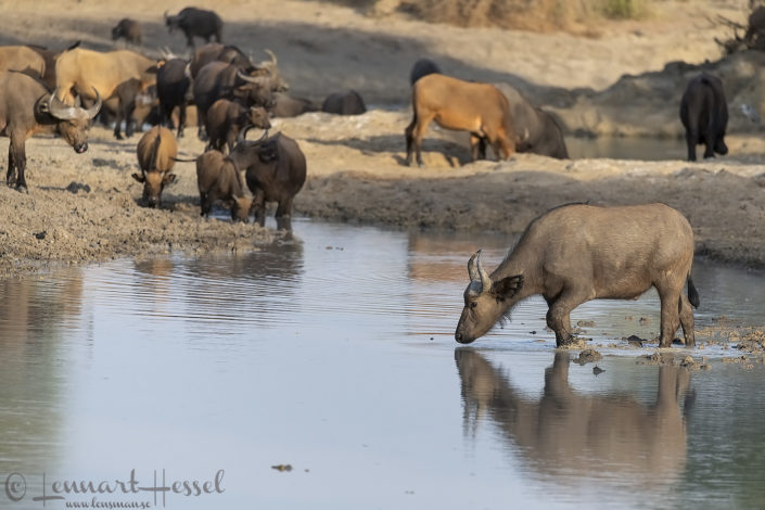 Central African Savannah Buffalo in water Zakouma National Park Chad Salamat