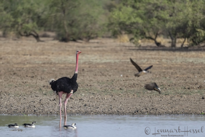 Male North African Ostrich Zakouma National Park Chad Salamat