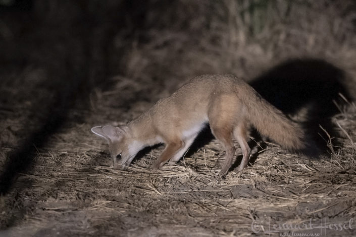 Pale Fox hunting at night Zakouma National Park Chad Salamat