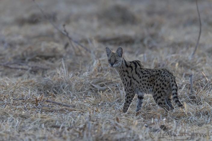 Serval Zakouma National Park Chad Salamat