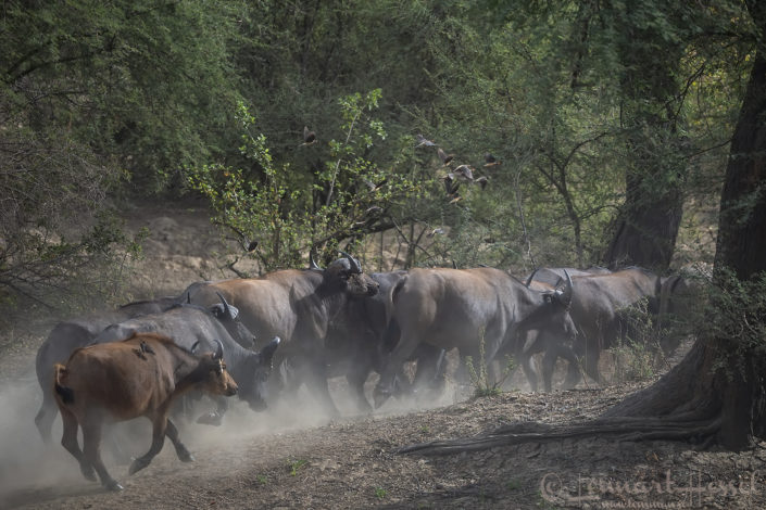 Central African Savannah Buffaloes running Zakouma National Park Chad Salamat