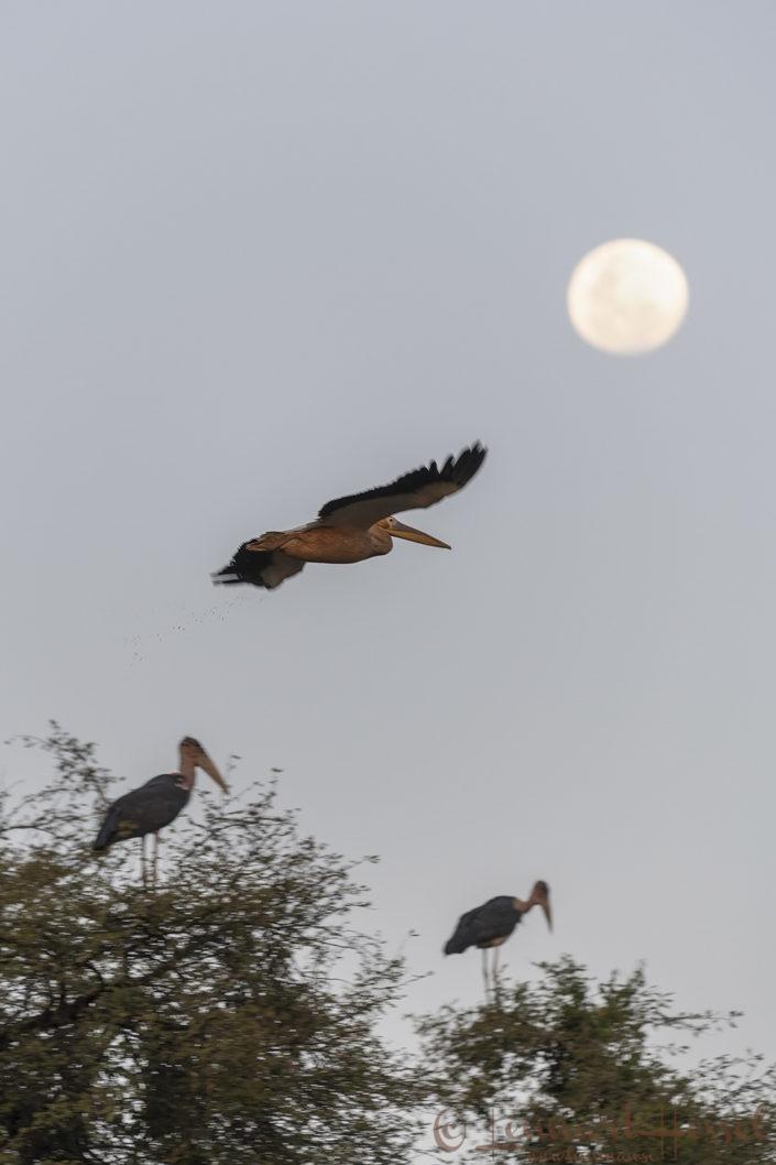 Great White Pelican against the moon Salamat River Zakouma National Park