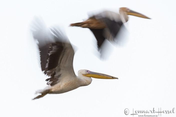 Great White Pelican duo Salamat River Zakouma National Park