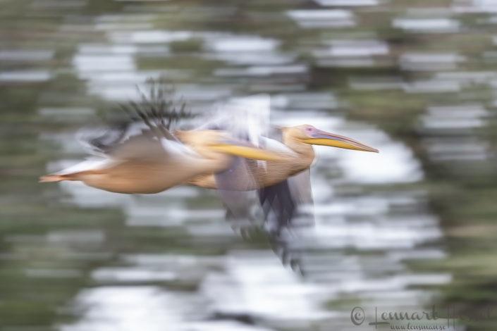 Great White Pelican flying Salamat River Zakouma National Park