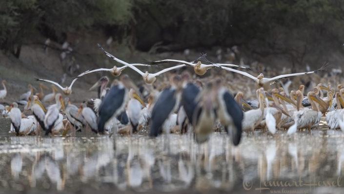 Great White Pelican overhead Salamat River Zakouma National Park