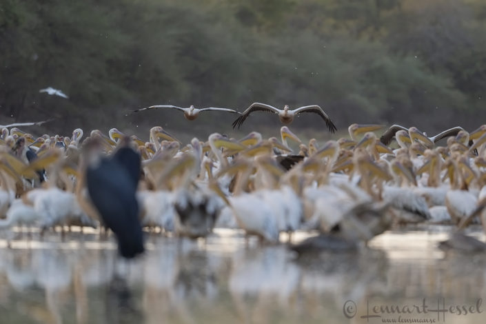 Great White Pelicans strainght on Salamat River Zakouma National Park