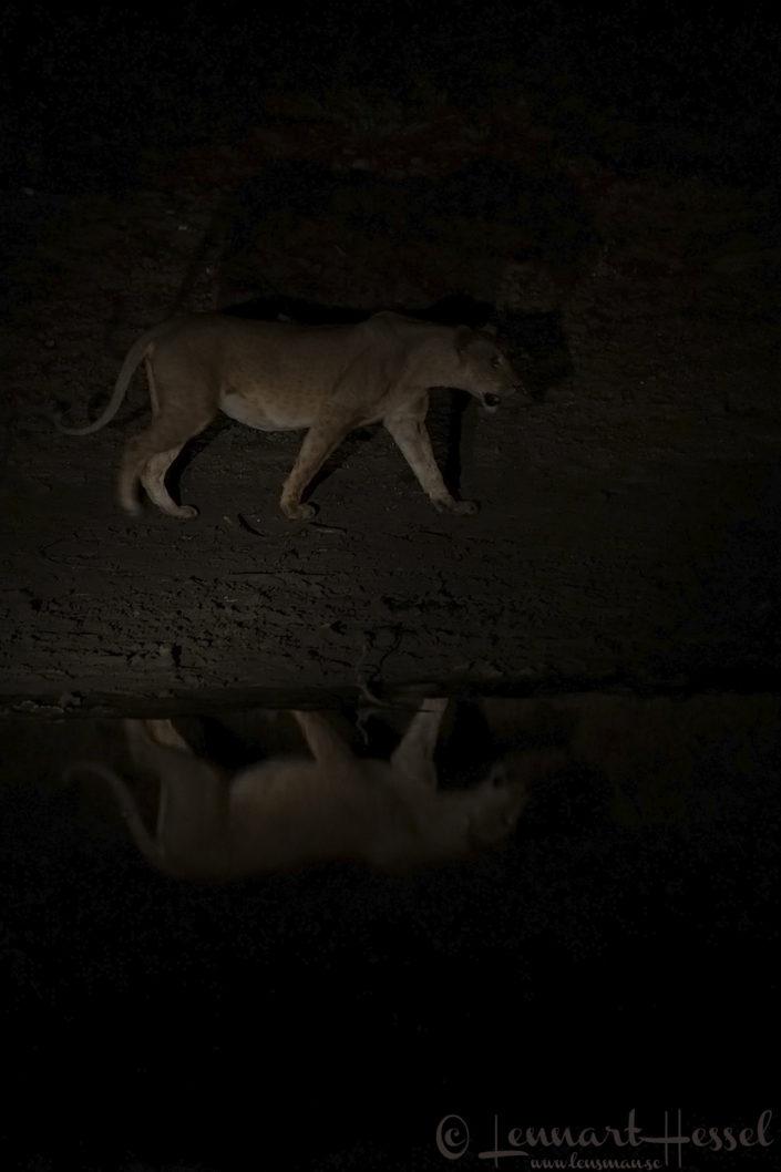 Lioness in the dark Salamat River Zakouma National Park